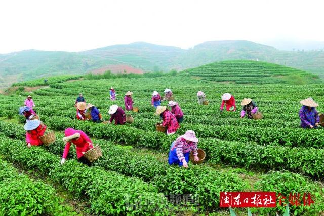 """霞浦""""元宵茶"""" 茶农忙采摘"""